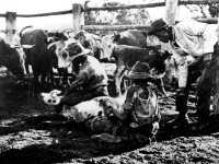 Stockmen Holding Cattle for Branding